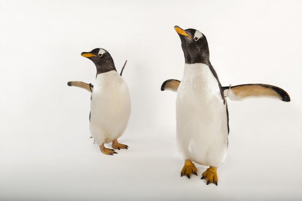 Gentoo Penguins © Joel Sartore